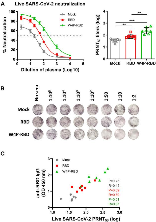 W4P-RBD exerts potent neutralizing activity against live SARS-CoV-2. C57BL/6 mice were immunized with W-RBD, W4P-RBD (50 μ g /mouse), or empty pcDNA3.3 (Mock) three times at 1-week intervals. Serum from the immunized mice was diluted and incubated with live SARS-CoV-2 for neutralization assays. (A) A 50% plaque reduction neutralizing antibody (PRNT 50 ) titer against live SARS-CoV-2 was calculated against SARS-CoV-2 infection in Vero E6 cells. (B) Reduction in plaque formation in Vero E6 cells infected with SARS-CoV-2. (C) Correlation between SARS-CoV-2 RBD-specific IgG and SARS-CoV-2 neutralization titers in immunized mice. Significance differences (** P