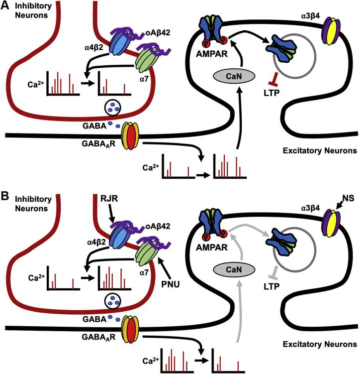 Schematic model. A , impact of Aβ oligomers. In the hippocampus, α7- and α4β2-nAChRs are prominently expressed on inhibitory interneurons; thus, selective binding of soluble Aβ42 oligomers (oAβ42) to α7- and α4β2-nAChRs but not α3β4-nAChRs, reduces neuronal activity in inhibitory cells, leading to a decrease in the release of GABA onto hippocampal excitatory neurons. Consequently, excitatory cells have increased frequency of Ca 2+ transients, resulting in elevated calcineurin (CaN) activity. Calcineurin then dephosphorylates the AMPA receptor (AMPAR) subunit, GluA1, promoting AMPAR endocytosis and resulting in an overall decrease of AMPAR surface expression. This ultimately contributes to disruptions of long-term potentiation. B , reversal of Aβ-induced synaptic and neuronal dysfunction by costimulation with α7- and α4β2-nAChRs agonists. As Aβ42 inhibits both α7- and α4β2-nAChRs but not α3β4-nAChRs, costimulation of α7- and α4β2-nAChRs by selective agonists, PNU-282987 (PNU) and <t>RJR-2403</t> Oxalate (RJR), can restore normal activity of both hippocampal inhibitory and excitatory cells, reversing Aβ-induced synaptic dysfunction. This restoration of normal Ca 2+ activity prompts a decrease in calcineurin activity, leading to a decrease in AMPAR dephosphorylation and AMPAR endocytosis, ultimately restoring normal long-term potentiation. However, an agonist for α3β4-nAChRs, NS-3861 (NS), does not appear to have neuroprotective effects. Moreover, nonspecific stimulation of nAChRs by using three agonists together or carbachol is unable to reverse the Aβ effects on neuronal activity and synaptic function, emphasizing the importance of selective costimulation of nAChRs as potential therapeutic approaches.