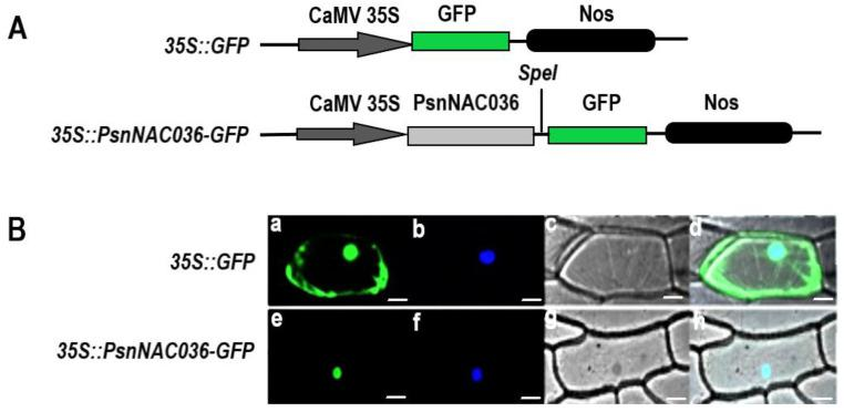 Subcellular localization of the PsnNAC036 protein. ( A ) Schematic map of the T-DNA inserted in the 35S::GFP binary vector. ( B ) The 35S::PsnNAC036-GFP fusion construct and the positive control 35S::GFP plasmid were introduced into onion epidermal cells by particle bombardment. GFP fluorescence was observed by confocal laser scanning microscopy. ( a , e ) are fluorescence images observed in a dark field (green); ( b , f ) are 2-(4-Amidinophenyl)-6-indolecarbamidine dihydrochloride (DAPI) staining, which is specific for the nucleus (blue); ( c , g ) are light images observed in bright field; ( d , h ) are merged images of dark field and bright field. Scale bar = 20 μm.