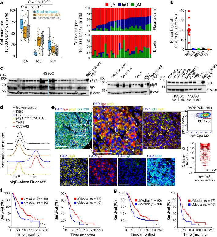 IgA–pIgR colocalization is associated with protective immunity in human ovarian cancer. a , Left, percentage of FACS cell counts of IgA + , IgG + or IgM + cells among Ig + B cells or plasmablasts or plasma cells, normalized to 10,000 viable CD45 + cells. B cells, CD45 + CD3 − CD19 + CD20 + cells; plasmablasts, CD45 + CD3 − CD19 + CD20 − CD38 high cells; plasma cells, CD45 + CD3 − CD19 + CD20 − CD138 + and CD45 + CD3 − CD19 − CD20 − CD138 + cells. Each dot represents one tumour ( n = 29). Details of box plots can be found in Methods. P values were obtained by a two-way analysis of variance (ANOVA) followed by Dunnett's test for multiple comparisons. Supplementary Table 1 provides further details on statistics. Right, bar graphs representing the percentage of each isotype produced by plasma cells (top) or B cells (bottom) in the same tumours, normalized to 10,000 viable CD45 + cells. IC, intracellular. b , IgA-coated CD45 − EpCAM + tumour epithelial cells (mean ± s.e.m., n = 10) in dissociated HGSOC. c , Expression of pIgR protein in independent HGSOC ( n = 27); tumour-free Fallopian tube ( n = 3), ovary ( n = 5) and omental ( n = 4) samples; ovarian tumour cell lines; and K562 leukaemia cells and THP1 monocyte cells (negative controls). Positive control, recombinant human pIgR. Western blots were repeated twice. NSCLC, non-small-cell lung cancer. d , Histograms showing FACS analysis of pIgR, in ovarian surface epithelial (OSE), K562, THP1, wild-type or PIGR -ablated (pIgR CRISPR ) OVCAR3 cells. e , Left, representative ( n = 273) combined staining of IgA, pIgR, IgG, PCK and DAPI. Instances with IgA–pIgR colocalization are indicated with arrows. Scale bar, 50 μm (top left), 20 μm (all other panels). Top right, representative ( n = 137, IgA–pIgR colocalization ≥ median) dot plot showing IgA–pIgR colocalized signal among DAPI + PCK + cells. Bottom right, scattered graph showing number of IgA–pIgR colocalized cells (averaged from duplicated cores) per mm 2 of PCK + (mean