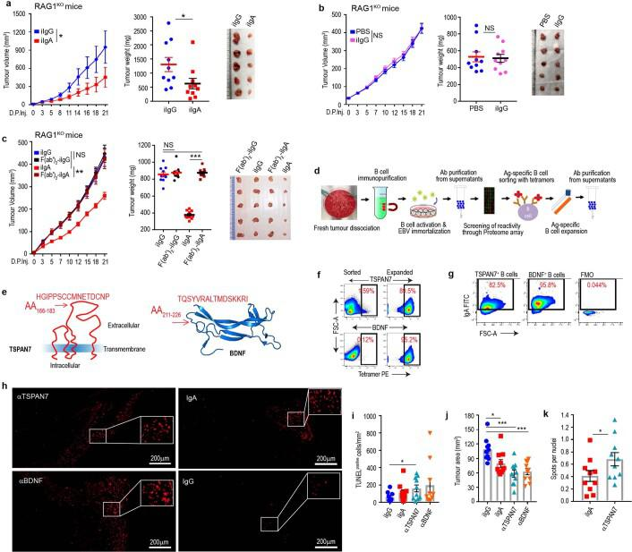 TSPAN7- and BDNF-specific antibodies produced at tumour beds delay the progression of established tumours. a , RAG1-deficient mice inoculated subcutaneously with 10 7 OVCAR3 cells received 100 μg per 20g body weight of irrelevant (i)IgA or irrelevant (i)IgG peritumourally at days 7, 11, 15, 19 and 23 after tumour inoculation. Tumour growth curves (left), tumour weight (centre) and representative differences in tumour volume (right) are shown. Growth curve statistics: iIgG versus iIgA, P = 0.0130, paired two-tailed t -test. Tumour weight statistics, iIgG versus iIgA, P = 0.043, unpaired two-tailed t -test. Data are mean ± s.e.m. * P ≤ 0.05. b , Tumour growth curves (left), as well as tumour volume (right) and weight (centre) in OVCAR3-tumour-bearing RAG1-deficient mice receiving irrelevant IgG antibodies or vehicle (PBS). Growth curve statistics: iIgG versus PBS, P = 0.1840, paired two-tailed t -test. Tumour weight statistics: iIgG versus PBS, P = 0.8275, (unpaired two-tailed t -test). Data are mean ± s.e.m. NS, not significant. c , Tumour growth curves (left), as well as tumour volume (right) and weight (centre) in OVCAR3-tumour-bearing RAG1-deficient mice receiving full-length or pepsinized (Fc-removed) irrelevant IgG or irrelevant IgA antibodies. Curves and tumour weights were pooled from 2 independent experiments (10 mice per group in total). Growth curve statistics: iIgA versus F(ab′) 2 –iIgA, P = 0.0030; iIgA versus iIgG, P = 0.0578; iIgG versus F(ab′) 2 –iIgG, P = 0.0547, paired two-tailed t -test. Tumour weight statistics: iIgA versus F(ab′) 2 –iIgA, P