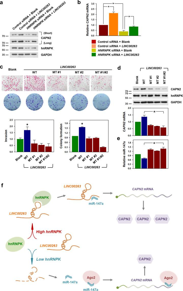 """The ability to sponge miR-147a is required for the oncogenic function of LINC00263 . a , b HeLa cells were transfected with HNRNPK siRNA and/or a LINC00263 expression vector. The expression levels of CAPN2 protein ( a ) and CAPN2 mRNA ( b ) were determined by Western blot and RT-qPCR analyses, respectively. c – e LINC00263 expression vectors harboring mutant sequences of both miR-147a MREs were constructed. As with constructing the luciferase reporter vectors, four nucleotides of each miR-147a MRE in LINC00263 were changed to block the binding of miR-147a. c The invasive and clonogenic effects of three mutated LINC00263 (miR-147a MRE mutant #1, #2, and #1/#2) were determined as described in """"Material and methods"""". d The expression levels of CAPN2 protein and CAPN2 mRNA were determined by Western blot and RT-qPCR analyses, respectively. e Effect of mutated LINC00263 on miR-147a expression was assessed by RT-qPCR. Statistical analyses were performed using the Student's t test using three independent experiments (* p"""