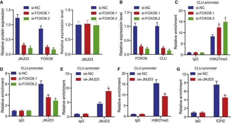 CLU transcriptional activation by JMJD3 correlates with methylation (A) Western blot analysis and qRT-PCR of the effect of FOXO6 knockdown on JMJD3 protein (normalized to β-actin) and mRNA levels, respectively, in EC cells. (B) qRT-PCR detection of the effect of FOXO6 knockdown on CLU mRNA level in EC cells. (C) ChIP-qPCR detection of H3K27me3 enrichment in CLU promoter region after FOXO6 knockdown in Kyse30 cells. (D) ChIP-qPCR detection of JMJD3 enrichment in CLU promoter region after FOXO6 knockdown in Kyse30 cells. (E) The enrichment of JMJD3 at the promoter region of CLU was detected by ChIP-qPCR in response to overexpression of JMJD3 in Kyse30 cells. (F) The enrichment of H3K27me3 at the promoter region of CLU was detected by ChIP-qPCR in response to overexpression of JMJD3 in Kyse30 cells. (G) The enrichment of JMJD3 EZH2 at the promoter region of CLU was detected by ChIP-qPCR in response to overexpression of JMJD3 in Kyse30 cells. Measurement data were expressed as mean ± standard deviation and compared by independent sample t test between two groups and by one-way ANOVA among multiple groups. The experiment was repeated three times independently. ∗p
