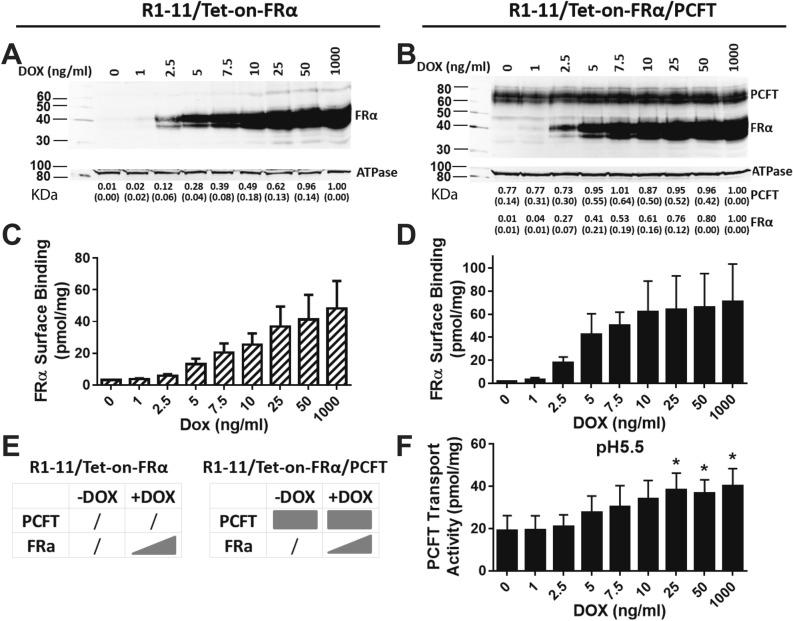 Characterization of R1-11/Tet-on-FRα single and R1-11/Tet-on-FRα/PCFT double transfectant models. R1-11/Tet-on-FRα or R1-11/Tet-on-FRα/PCFT cells were plated in 60-mm dishes in complete folate-free (FF) RPMI 1640 medium containing 10% fetal bovine serum (FBS) for transport/binding and protein expression assays. Twenty-four hours later, a range of DOX (0, 1, 2.5, 5, 7.5, 10, 25, 50, and 1000 ng/ml) was added. After 48 h, FRα and/or PCFT protein levels for the R1-11/Tet-on-FRα single ( A ) or R1-11/Tet-on-FRα/PCFT double ( B ) models were measured in crude plasma membranes by SDS-PAGE and Western blotting with a HA monoclonal antibody (upper panels) followed by stripping and re-probing with Na + /K + ATPase monoclonal antibody (lower panels) as a loading control. Blots were cropped as needed. The full blots are included in the Supplement (Figs. S2 – S5 ). The molecular mass markers for SDS-PAGE are noted. Densitometry was performed using Odyssey software, and FRα or PCFT protein levels were normalized to those for Na + /K + ATPase and expressed relative to the level at the maximum concentration of DOX. Densitometry results are summarized below the individual lanes and are presented as mean values plus/minus standard deviations (SDs; in parenthesis) from at least 3 experiments. FRα levels ( C , D ) were also determined with [ 3 H]FA at 0 °C for 15 min; PCFT uptake ( F ) was measured with [ 3 H]MTX at pH 5.5 at 37 °C for 2 min. Results are presented as mean values plus/minus SDs from at least 3 experiments. The statistical significance of PCFT transport activities between samples with and without DOX was analyzed by an unpaired t test. An asterisk indicates a statistically significant difference between the mean transport values ( p