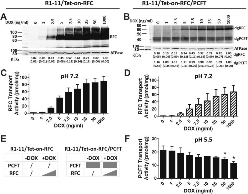 """Characterization of R1-11/Tet-on-RFC single and R1-11/Tet-on-RFC/PCFT double transfectant models. R1-11/Tet-on-RFC or R1-11/Tet-on-RFC/PCFT cells were plated in 60-mm dishes in complete FF RPMI 1640 medium containing 10% FBS for transport and protein expression assays. Twenty-four hours later, a range of DOX (0, 1, 2.5, 5, 7.5, 10, 25, 50, and 1000 ng/ml) was added. After 48 h, RFC and PCFT protein levels for the R1-11/Tet-on-RFC ( A ) and R1-11/Tet-on-RFC/PCFT models (after deglycosylation; """"dgRFC"""" and """"dgPCFT"""" designate the deglycosylated forms of these proteins) ( B ) were measured in crude plasma membranes by SDS-PAGE and Western blotting with HA monoclonal antibody (upper panels), followed by stripping and re-probing with Na + /K + ATPase monoclonal antibody (lower panels) as a loading control. Blots were cropped as needed. The full blots are included in the Supplement (Figs. S6 to S9 ). The molecular mass markers for SDS-PAGE are noted. Densitometry was performed using the Odyssey software, and RFC or PCFT protein levels were normalized to Na + /K + ATPase and expressed relative to the level at the maximum concentration of DOX. Densitometry results are noted below the individual lanes and are presented as mean values plus/minus SDs from at least 3 experiments. RFC ( C , D ) and PCFT ( F ) transport activities were measured with [ 3 H]MTX at 37 °C for 2 min, at pH 7.2 and pH 5.5, respectively. Results are presented as mean values plus/minus SDs from at least 3 experiments. Statistical significance of PCFT transport activities between samples with and without DOX was analyzed by the unpaired t test. An asterisk indicates a statistically significant difference between the mean values of PCFT transport ( p"""
