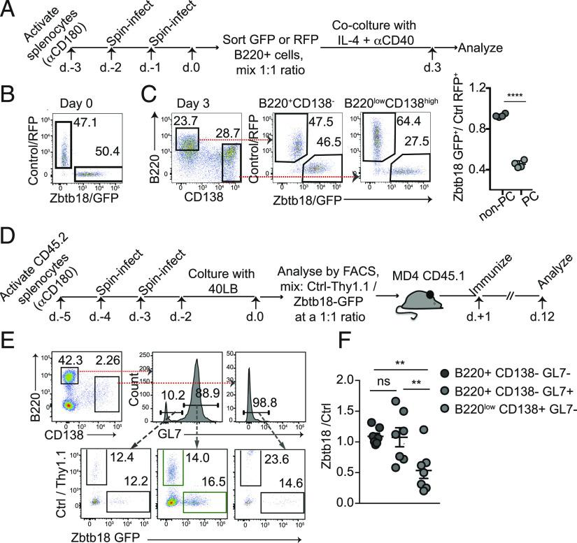 Zbtb18 suppresses PCs responses. ( A – C ) Splenocytes were transduced with Zbtb18/GFP or control/RFP retroviral vectors. B220 + RFP + and GFP + live cells were sorted by flow cytometry, mixed in a 1:1 ratio (day 0), and incubated with anti-CD40 and IL-4 for 3 d. A schematic illustration of the experiment is shown in (A). An example for flow cytometry gating scheme at day 0 (B) and day 3 (C) are shown. Red arrows show gating strategy. The ratio between Zbtb18/GFP + and Ctrl/RFP + cells in the non-PCs (B220 high CD138 − ) and PCs (B220 low CD138 high ) compartments is shown (C, right). (A)–(C) show the result of one representative experiment out of at least three independent experiments performed. Each circle represents one technical replicate. ( D – F ) CD45.2 + splenocytes were transduced with control/Thy1.1 or with Zbtb18/GFP and then cultured in the presence of 40LB stroma cells for 2 d. Transduced cells were analyzed by flow cytometry and cotransferred in a 1:1 ration into CD45.1 + MD4 mice. The next day, mice were immunized with SRBCs, and 12 d later, their spleens were analyzed by flow cytometry. A schematic illustration of the experiment is shown in (D). The gating scheme is shown (plots are pregated on live CD45.1 neg cells) (E). The ratios between CD45.2 + Zbtb18/GFP– and CD45.2 + control/Thy1.1–expressing cells were determined in the indicated populations (F). (D)–(F) show pooled data from two independent experiments performed. Each circle represents data from one mouse. ** p