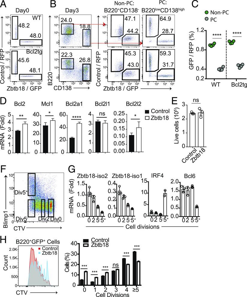 Zbtb18 regulates differentiation, but not survival of PCs. ( A – C ) Splenocytes derived from WT mice (upper panel) or Bcl2-Tg mice (lower panel) were transduced with control/RFP or Zbtb18/GFP retroviral vectors, sorted, and incubated with anti-CD40 and IL-4, as described in Fig. 1A . Cocultured cells were analyzed by flow cytometry before (A) and 3 d (B) poststimulation. The relative frequencies of GFP + and RFP + cells in the non-PC and PCs compartments are shown (C). (A)–(C) show the results of one representative experiment out of three independent experiments performed. Each circle represents a technical replicate. ( D and E ) Control/GFP– or Zbtb18/GFP–transduced splenocytes were incubated with anti-CD40 and IL-4. After 3 d, cells were sorted (GFP + B220 + live cells) and subjected to qPCR analysis of antiapoptotic genes (D). Expression of mRNA is presented relative to the abundance of GAPDH ( n = 3). Live count (trypan blue) was performed to determine viability (E). Data in (D) and (E) show the results from one representative experiment out of three independent experiments performed. Each circle represents a technical replicate. ( F and G ) Cells derived from Blimp-1–Venus–transgenic mice were labeled with the cell tracer dye CTV and stimulated with IL-4 and anti-CD40 for 3 d. Cells were sorted based on CTV dilutions (divisions [Div] 0, 2, and 5) and Blimp-1 expression and each fraction was analyzed by qPCR for expression of the indicated genes. Left, Flow cytometry showing sorting strategy to purify dividing cells. Right, Expression of mRNA is presented relative to the abundance of GAPDH and HPRT. Data shown in (F) and (G) are from one representative experiment out of three independent experiments performed. Each circle represents one technical replicate. ( H ) Cell division and PC differentiation in CTV-labeled splenic B cells from BM chimeras transduced with control/GFP or Zbtb18/GFP retroviral vector followed by 3 d incubation with anti-CD40 and IL-4. Left