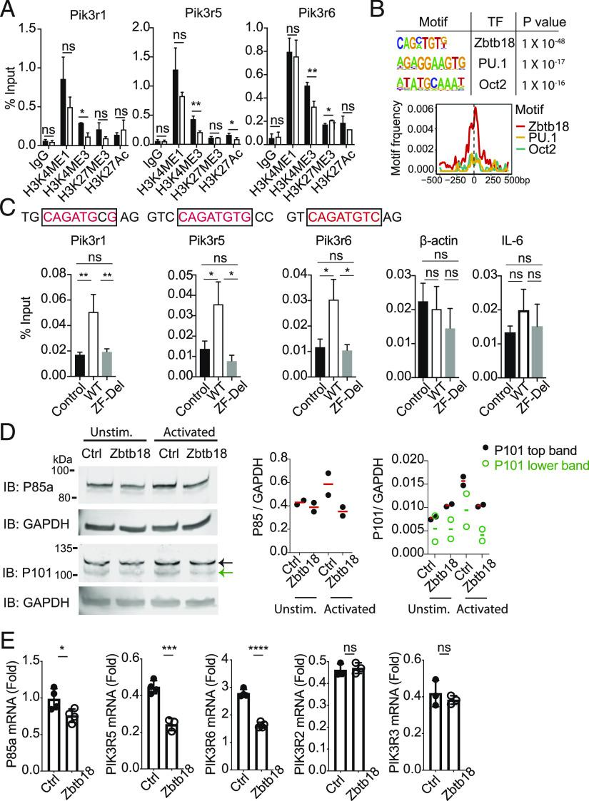 Zbtb18 directly binds and suppresses expression of PI3K class I genes. ( A ) Splenocytes were transduced with control (RFP + ) or Zbtb18 (GFP + ) vectors. Cells were analyzed by flow cytometry and mixed to achieve a 1:1 ratio of B220 + -GFP + – and RFP + -expressing cells, followed by stimulation with anti-CD40 and IL-4. Two days after stimulation, RFP + or GFP + B220 + CD138 – live cells were sorted by flow cytometry and subjected to Chip qPCR analysis of the ATAC-seq differential peaks of Pik3r1 , Pik3r5 , and Pik3r6 genes. Data are from pooled samples from three independent experiments performed (total n = 3). ( B ) De novo motif–enrichment analysis in repressed ATAC-seq peaks of Zbtb18 versus control (Ctrl) cells. Motif density distribution relative to the peak summit for Zbtb18, Pu.1 and Oct2 motifs in the repressed ATAC-seq peaks (bottom). ( C ) Chip qPCR analysis of interactions between Myc-tagged Zbtb18 (WT), or ΔZF with the indicated genes. Ctrl B cells transduced with empty GFP-expressing vector. Conserved Zbtb18-binding motif identified in the ATAC-seq peaks of the indicated genes are shown in red. Analysis was performed on transduced sorted cells (live B220 + GFP + cells) 2 d after anti-CD40 and IL-4 stimulation. Data show pooled samples collected in three independent experiments performed (total n = 3, biological replicates). ( D ) Immunoblot analysis of p85a, p101, and GAPDH in Ctrl/RFP– or Zbtb18/GFP–transduced B cells 2 d after being cocultured with or without anti-CD40 and IL4 stimulation (left) [as in (A) above]. Cells were sorted prior to analysis on day 2 (gated on live B220 + CD138 − GFP + or RFP + cells). Quantification of p85a or p101 expression normalized with GAPDH (right). Figure shows combined data collected in two independent experiments performed. Each circle represents data from one experiment. ( E ) qPCR analysis of the indicated genes in control- and Zbtb18-transduced B cells, sorted (as GFP + B220 + CD138 − live cells) 2 d poststimulation with anti-CD40 and IL-4. Expression of mRNA is presented relative to the abundance of GAPDH. Data in (E) show the results from one representative experiment out of three independent experiments performed. Each circle represents a technical replicate. * p