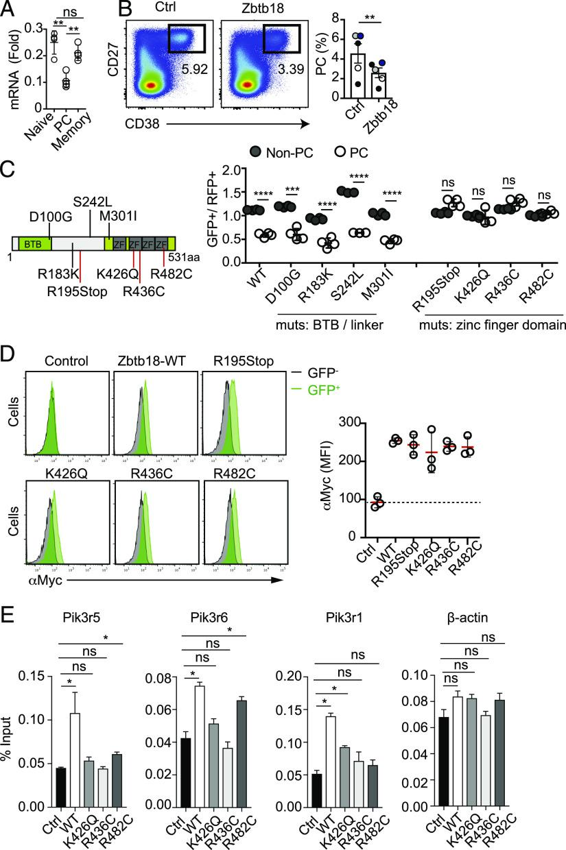 Zbtb18 suppresses differentiation of human PCs. ( A ) qPCR analysis of the transcript abundance of Zbtb18 in human naive cell (CD19 + IgD + CD27 − ), memory cell (CD19 + CD27 + CD38 − ), and PC (CD19 + IgD − CD27 + CD38 + ) sorted from human peripheral blood samples. Expression of mRNA is presented relative to the abundance of RPL13A. Data are from two biological replicates analyzed with two technical replicates each. The experiment is one out of two independent experiments performed. ( B ) Human B cells were purified from healthy donors, stimulated, and electroporated with control (Ctrl) or Zbtb18 RNA. Left, Representative example of flow cytometry analysis of cells 5 d poststimulation pregated on CD19 + cells. Right, Frequencies of PCs (CD38 + CD27 + ). Data are from pooled samples from four independent experiments performed. Each experiment is color coded. ( C ) Left, Schematic illustration of point mutations in Zbtb18 identified in cancer patients. Red lines highlight mutations that target residues within the zinc finger motif or that lead to loss of the entire domain. Right, B cells from mouse spleen were transduced with control/RFP or Zbtb18-Myc–Tagged/GFP WT or mutants, sorted, coincubated, and stimulated with IL-4 and anti-CD40 for 3 d (as in Fig. 1A ). Shown are the frequencies of non-PC and PC populations in GFP- and RFP-expressing cells. Data show one representative experiment out of three independent experiments performed. Each circle represents a technical replicate. ( D ) Anti-Myc intracellular stain splenocytes transduced with Zbtb18-Myc–tagged WT and mutants. Ctrl B cells transduced with empty (GFP-only) vector. Histograms are pregated on untransduced (GFP − , black) and transduced (GFP + , green) fractions. Left, Representative histograms. Right, MFIs of Myc. Figure shows data from one representative experiment out of three independent experiments performed. Each circle represents a technical replicate. ( E ) Chip qPCR analysis for binding of Zbtb18