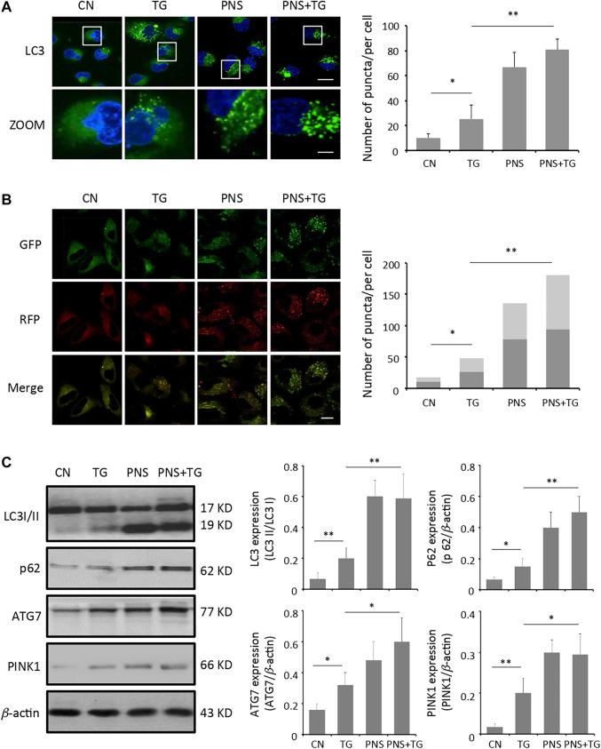 PNS promotes autophagy and autophagic flux. (A) Primary cultured cardiomyocytes, either untreated (CN group) or pretreated with 40 μg/ml PNS for 12 h (PNS group), before addition of 1 μM thapsigargin (TG group or PNS plus TG group) for 12 h were immunofluorescenced with the primary anti-LC3B antibody and imaged by a laser scanning confocal microscopy. Scale bar: 30 μm; in box: 10 μm. Bar graph shows the number of LC3 puncta per cell in various groups as indicated (Mean ± SEM; 80–100 cells; * p