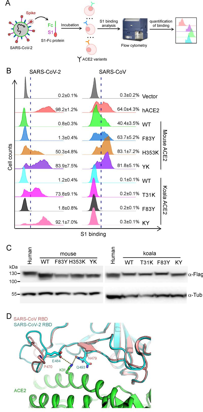 ACE2 mutants bind viral spike protein. (A-B) A549 cells were transduced with ACE2 orthologs or their mutants as indicated, incubated with the recombinant S1 domain of the SARS-CoV-2 or SARS-CoV spike protein C-terminally fused with Fc, and then stained with goat anti-human IgG (H + L) conjugated to Alexa Fluor 647 for flow cytometry analysis. Values are expressed as the percent of cells positive for S1-Fc among the ACE2-expressing cells (zsGreen1+ cells) and shown as the means ± SD from 3 biological replicates. This experiments were independently performed three times with similar results. (C) Representative immunoblots of A549 cells transduced with lentiviruses expressing FLAG-tagged ACE2 orthologs and humanized mutants were subjected to immunoblotting. Tubulin served as the loading control. This experiments were independently performed twice with similar results. (D) The structure of SARS-CoV RBD/ACE2 complex[ 31 ] (PDB: 2AJF) and SARS-CoV-2 RBD/ACE2[ 24 ] (PDB: 6M0J) were selected for comparison. SARS-CoV RBD, SARS-CoV-2 RBD and ACE2 are colored salmon, cyan and green, respectively. K31 of ACE2 and its adjacent residues on SARS-CoV RBD or SARS-CoV2 RBD are shown as sticks.
