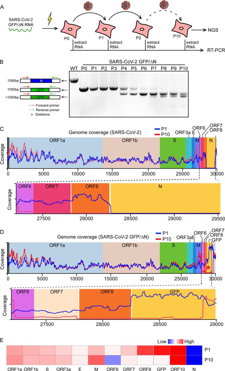 Characterization of the genetic stability of SARS-CoV-2 GFP/ΔN trVLP. (A) Detection of the GFP reporter gene during viral passage. RNAs were extracted from the VLP infected cells of P0 to P10 passage, respectively. (B) RT-PCR was performed with a primer pair flanking the N region of ORF8 and 3'UTR. The PCR products were resolved on an agarose gel using electrophoresis. The numbers of time points-samples-passage were denoted on the top of each lane. Representative images from one of three independent experiments; (C-D) RNA-seq coverage of virus derived reads aligned to SARS-CoV-2 (C) or SARS-CoV-2 GFP/ΔN (D) genome, respectively. (E) Heatmap shows the expression levels of each subgenomic RNA of P1 or P10 trVLP.