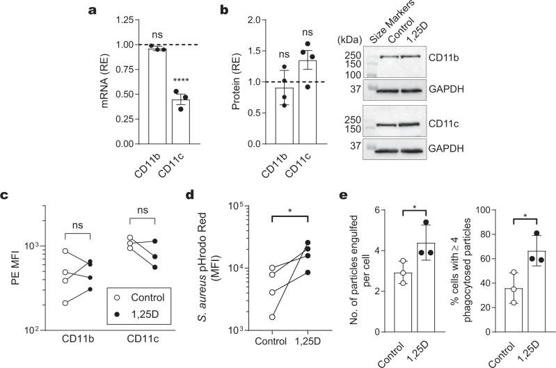 Effect of 1,25D on macrophage CR3 and CR4 expression and phagocytosis. Monocytes were cultured for either 3 days (for mRNA expression) or 5 days (for protein expression) with 1,25D and examined for complement receptor expression. Relative expression (RE) of mRNA or protein was measured against GAPDH. a Macrophages were examined for CD11b and CD11c mRNA expression. Data are expressed as fold-change compared with untreated control from three experiments each conducted with cells from a different individual and expressed as mean ± s.d. b Macrophages were examined for CD11c and CD11b protein expression by western blotting, normalized against GAPDH from four experiments each with cells from a different individual. Representative western blots are shown. c Macrophages were analysed for CD11b and CD11c surface expression by flow cytometry. The PE MFI values are shown of four (CD11b) and three (CD11c) experiments, each conducted with cells from a different individual. d Phagocytosis of S. aureus bioparticles by macrophages as measured by the pH-sensitive pHrodo™ Red dye. Data are expressed as MFI, each conducted with cells from a different individual. e Phagocytosis of opsonized C. albicans by macrophages derived from monocytes cultured in either the presence or absence of 100 nM 1,25D for 5 days, is expressed as the number of engulfed particles per cell (left graph) and the percentage of cells with four or more phagocytosed particles (right graph). Data are presented as mean ± s.d. of three experiments each with cells from a different individual. a , b Data are presented as mean ± s.d. P values were calculated using one-way ANOVA followed by Dunnett's multiple comparison test. c – e P values were calculated using paired two-tailed ( c ) or one-tailed ( d , e ) Student's t -test. Significance of differences between 1,25D versus control, * P