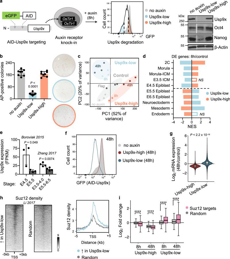 Usp9x promotes ES cell self-renewal and a transcriptional signature of preimplantation linked to PRC2 activity. a Schematic of an auxin-inducible degron (AID) system for acute Usp9x depletion in mouse embryonic stem (ES) cells with representative flow cytometry plot of GFP (AID-Usp9x) expression in Usp9x-low and Usp9x-high ES cells. Right: western blot of endogenous Usp9x level in sorted cell fractions (see Supplementary Fig. 1b ). b Quantification and representative images of colony formation assays. Usp9x-low ES cells display a self-renewal deficit. AP , Alkaline Phosphatase. c Principal Component (PC) Analysis of gene expression by RNA-seq. 8 h : 8 h auxin. No auxin : AID-Usp9x cells with vehicle treatment. 48 h : 8 h auxin followed by 48 h recovery without auxin. Flag : Flag-Usp9x cells after 8 h auxin and 48 h recovery. d The transcriptional signatures of Usp9x-high or Usp9x-low ES cells correlate with different stages of peri-implantation development by Gene Set Enrichment Analysis (GSEA). Genes differentially expressed between Usp9x-high or Usp9x-low ES cells and controls were used in each case. See Methods for references. DE, differentially expressed (relative to controls); NS, not significant (FDR > 0.05); NES, Normalized Enrichment Score. e Usp9x mRNA expression in the epiblast declines from pre- to postimplantation 36 , 37 . f Flow cytometry plot measuring median fluorescence intensity of GFP (Usp9x expression) in Usp9x-high and Usp9x-low ES cells after 8 h auxin treatment and 48 h recovery (without auxin). g Fold-change in expression of all genes at 48 h relative to control cells, showing hypotranscription in Usp9x-high ES cells and hypertranscription in Usp9x-low ES cells. h Heatmaps with summary profile plot of Suz12 binding (data from wild-type ES cells 43 ) over the genes upregulated in Usp9x-low cells or a random subset ( N = 1310). i Boxplots showing repression (in Usp9x-high) or induction (in Usp9x-low) of Suz12 target genes 57 , compared to a ran