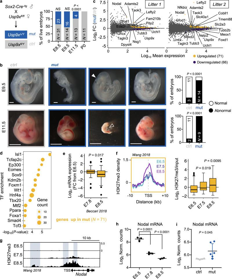 Usp9x -mutant embryos arrest at E9.5–E11.5 and display defective repression of early lineage programs marked by H3K27me3. a Genetic cross to delete Usp9x in epiblast derivatives of postimplantation embryos. Quantification of recovered (live) male embryos at several postimplantation stages (right). b Sample images and quantification of control and mutant embryo phenotypes. Relative to controls (left), E9.5 embryos show variable developmental delay, with closed arrow indicating an open anterior neuropore. E11.5 embryos show a range of phenotypes, from hemorrhage to severe delay and death (tally includes dead embryos). Open arrow indicates pericardial edema. Scale bars = 250 µm (E9.5), 2.8 mm (E11.5), with N indicated. c MA plots of expression changes by RNA-seq in two litters of Usp9x mutants versus controls (at E8.5). 3 mutants and 3 controls were sequenced per litter ( N = 12 embryos total; see Supplementary Fig. 3b-d ). d Enrichr analysis of the top-enriched transcription factors (TF) that bind to the genes upregulated in Usp9x -mutant embryos in various cell types. e Expression of the 71 genes upregulated in Usp9x mutants during wild-type development 56 . FC , Fold-change relative to E6.5 embryos. f Distribution and boxplot quantification of H3K27me3 levels 59 over the promoters of genes upregulated in Usp9x mutants (10 kb upstream, 1 kb downstream of TSS). g Representative genome browser tracks of H3K27me3 in wild-type embryos (E6.5–E8.5) at the Nodal locus 59 . Known enhancer elements are highlighted and show gains of H3K27me3. h Nodal mRNA expression in wild-type development 56 . i Nodal mRNA expression in E8.5 Usp9x- mutant or control embryos. Boxplot hinges show the first and third quartiles, whiskers show ±1.5*IQR and center line shows median of 2–3 biological replicates ( e , f ). Data are representative of 2–3 biological replicates ( g ), mean ± s.e.m. of 2–3 biological replicates ( h ), or 6 biological replicates ( i ). P -values by χ 2 test ( a , b ), Fi