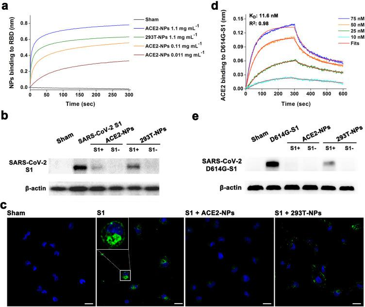 Inhibitory effect of ACE2-NPs on S1 recruitment. (a) Binding kinetics for NPs and SARS-CoV-2 RBD loaded on SA biosensors. (b) Western blotting detection of S1 and (e) <t>D614G-S1</t> binding to HK-2 in the absence and presence of NPs. β-actin was used as the reference. (c) Immunofluorescence microscopy revealing the protective effect of NPs on cells exposed to S1 (green). The region of interest in the S1-treated group is magnified in the inset graph. Nuclei were stained with DAPI (blue). The scale bar indicates 20 μm. (d) Binding kinetics for increasing concentrations of ACE2 and D614G-S1 loaded on SA biosensors. The fitted curves are colored red. The fitting coefficient ( R 2 ) is 0.96.