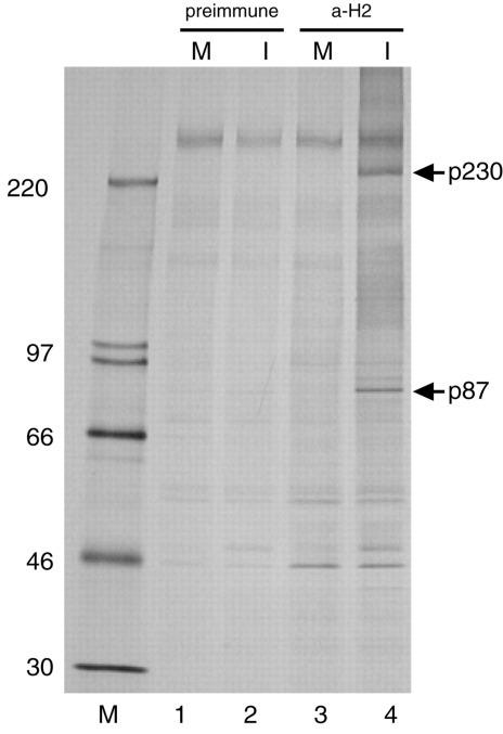 Detection of an ORF1a-encoded 87-kDa cleavage product in HCoV-infected cells. Metabolically labeled lysates from 3 × 10 5 mock-infected ( M ) ( lanes 1 and 3 ) or HCoV-infected ( I ) ( lanes 2 and 4 ) MRC-5 cells were analyzed by SDS-polyacrylamide gel electrophoresis in a 10–17% acrylamide gradient gel after immunoprecipitation with α-H2 antiserum ( lanes 3 and 4 ) or the corresponding preimmune serum ( lanes 1 and 2 ). Antiserum α-H2 recognizes the HCoV ORF1a-encoded amino acids 112–322. The cells were labeled from 7 to 9.5-h postinfection with 100 µCi of [ 35 S]methionine per ml. Sizes of molecular mass markers (CFA 626; Amersham Pharmacia Biotech) with masses in kilodaltons as well as the 230- and 87-kDa processing products, p230 and p87, respectively, are indicated.