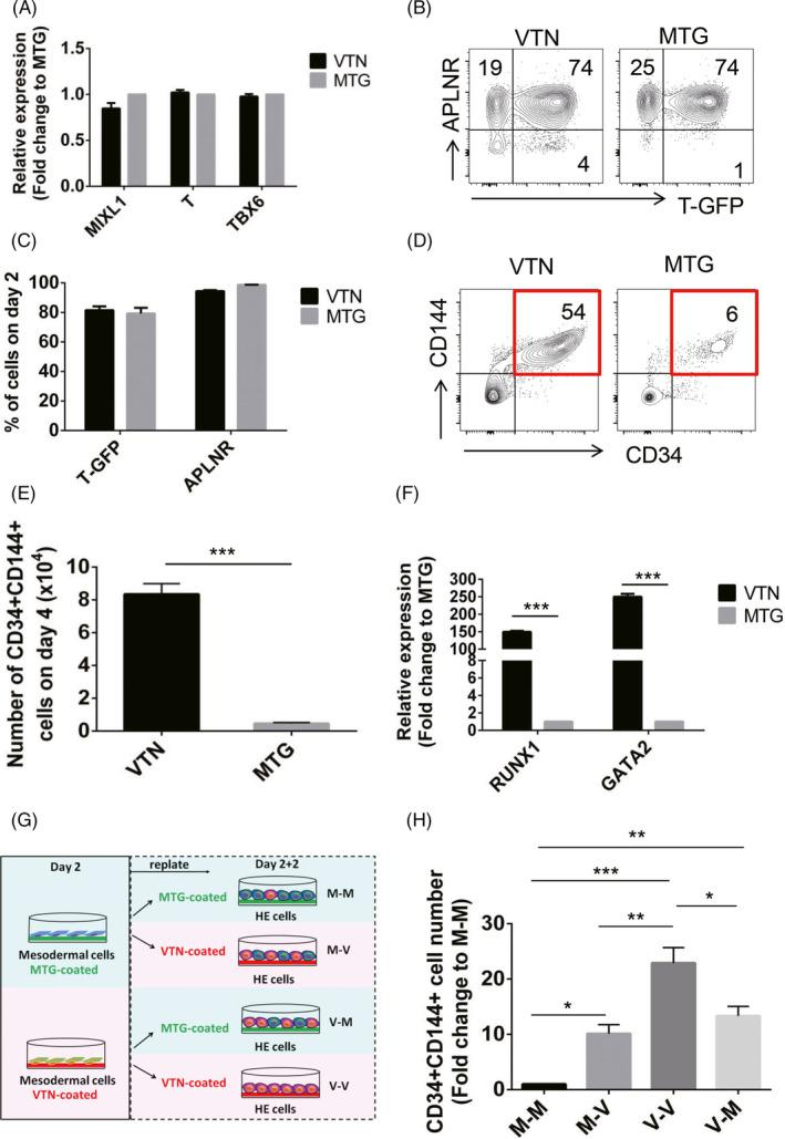 VTN specifies haematopoietic‐fated mesoderm and enhances HE generation from the mesoderm. A, qRT‐PCR analysis of MIXL1 , T and TBX6 expression in the day 2 VTN or MTG‐coated cells. n = 3. B and C, Flow cytometric analysis of the frequency of T‐GFP + and APLNR + cells in the day 2 cells coated with VTN or MTG. n = 3. D and E, Flow cytometric analysis of the frequency and number of CD34 + CD144 + cells in the day 4 VTN or MTG‐coated cells. n = 3. F, qRT‐PCR analysis of RUNX1 and GATA2 expression in the day 4 cells coated with VTN or MTG. n = 3. G, Scheme depicting the strategy used for evaluating the role of VTN in the fate determination of mesoderm cells and their development into HE cells. The day 2 T‐GFP + mesodermal cells coated with VTN or MTG were sorted and re‐seeded on VTN and MTG, respectively, for an additional 2 days of HE induction. H, The fold change of CD34 + CD144 + cell number generated in the day 2 T‐GFP + mesodermal cells coated with VTN or MTG following an additional two‐day culture in VTN or MTG. M‐M was set as a control and normalized to 1. n = 3. Experiments were performed on H1 unless otherwise indicated