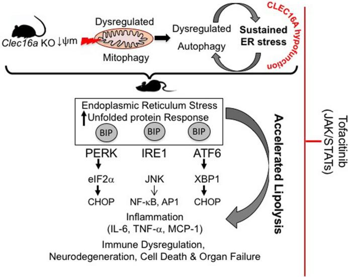 Tofacitnib mediated partial rescue of Clec16a ΔUBC KO phenotype. Model depicting loss of Clec16a leads to a vicious cycle of autophagic impairment and ER stress. ER stress activates lipolytic cascade. Excessive HSL-driven lipolysis stimulates inflammation in adipose tissue of KO mice. Tofacitinib exerts its multifaceted effect on HSL-mediated lipolysis, AMPK, mTOR, JAK-STATs, and autophagy/lipophagy and ER stress signaling, improves survival, and rescues the inflammatory lipodystrophic phenotype exhibited by Clec16a ΔUBC KO mice.