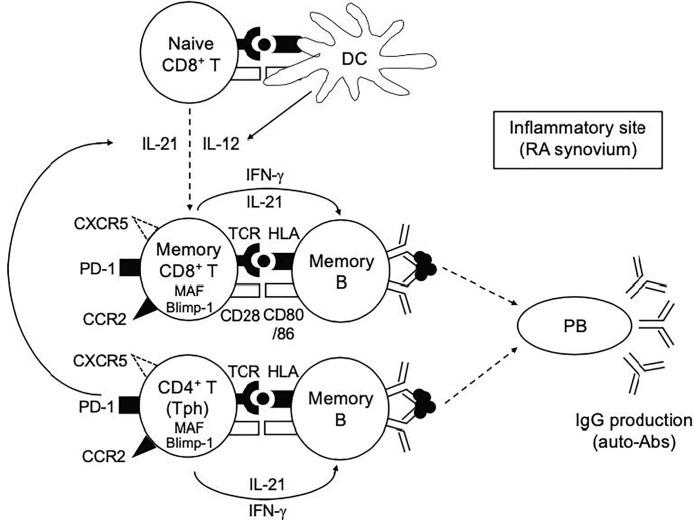 Our hypothetical model in this study. Both IL-12 and IL-21 play a pivotal role in the generation of IL-21-producing PD-1 + CD8 + T cells. The provision of IL-12 and IL-21 to CD8 + T cells in this case could be from DCs and Tph cells, respectively. Memory PD-1 hi CD8 + T cells, in concert with Tph cells, play a role in promoting plasmablast differentiation and antibody production at the inflammatory sites such as RA synovium.