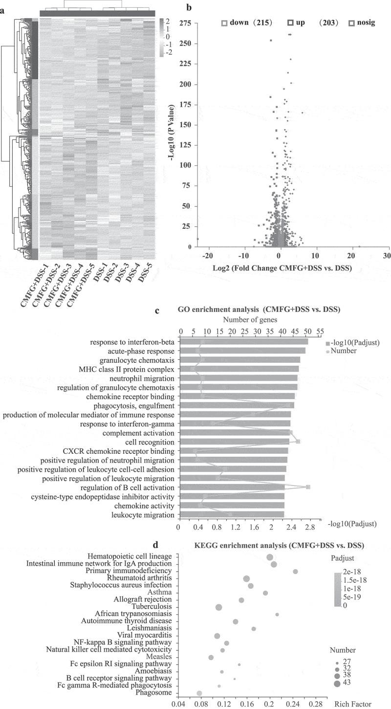 RNA-seq data exhibit distinct colonic function in colonic tissues. A) Heatmap summary of the differentially expressed genes. The scale bar shows the gene expression in each group. B) Volcano plot of differentially expressed transcripts with DSS and CMFG + DSS groups. C) GO enrichment of up-regulated and down-regulated genes in DSS vs. CMFG + DSS. D) KEGG enrichment of up-regulated and down-regulated genes in DSS vs. CMFG + DSS, n = 5 per group