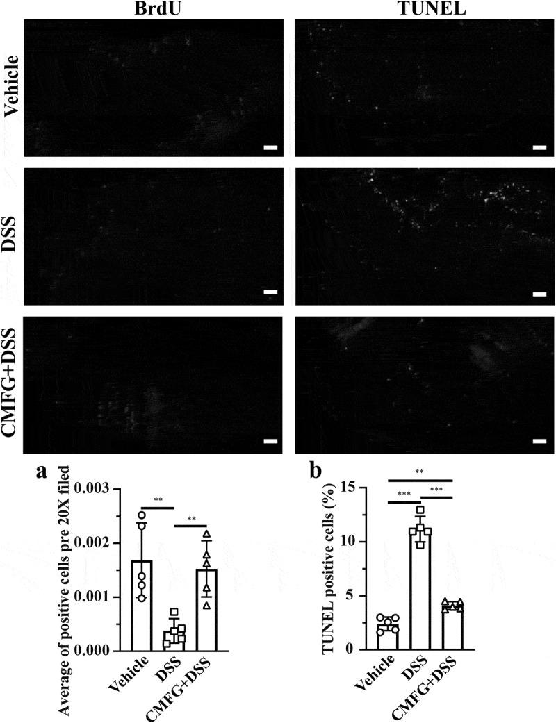 Prophylactic CMFG intervention alters the levels of cellular proliferation and apoptosis. Representative plot of cellular proliferation (a) and cellular apoptosis (b) in the colonic tissues among vehicle, DSS and CMFG + DSS groups. Asterisks denote significant differences (* p ≤ 0.05, ** p ≤ 0.01, *** p ≤ 0.001), n = 6 per group, data are represented as mean ± SEM