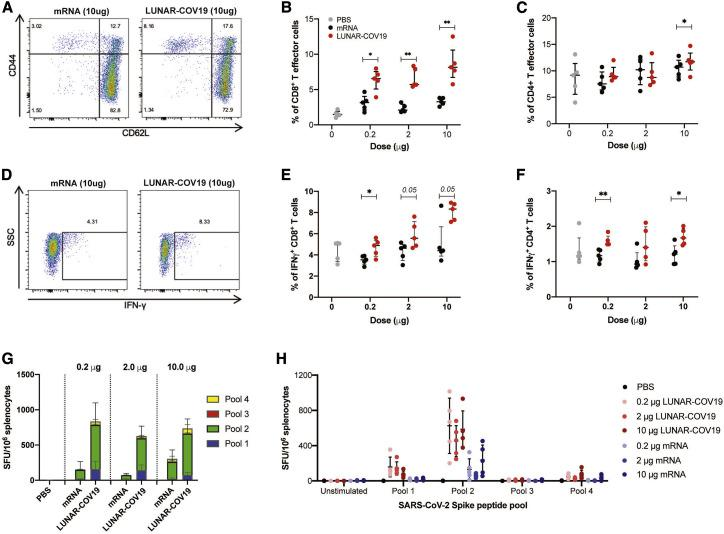 Cellular immune responses following vaccination with LUNAR-COV19 C57BL/6 mice (n = 5 per group) were immunized i.m. with 0.2 μg, 2.0 μg, or 10.0 μg of LUNAR-COV19 or conventional mRNA control and sacrificed at day 7 post-vaccination, and spleens were analyzed for cellular T cell responses by flow cytometry and ELISpot. (A–C) CD8 + (A and B) and CD4 + (C) T effector cells were assessed in vaccinated animals with surface staining for T cell markers and flow cytometry. (D–F) IFNγ + CD8 + T cells (D and E) and ratio of IFNγ + IL-4 + CD4 + T cells (F) in spleens of immunized mice were assessed after ex vivo stimulation with PMA/IO and intracellular staining. (G and H) SARS-CoV-2 Spike protein-specific responses to pooled Spike protein peptides were assessed with IFNγ ELISpot assays after vaccination with conventional mRNA controls or LUNAR-COV19. Percentage of CD8+ cells, CD4+ cells, and IFNγ- and IL-4-producing T cells were compared between groups with two-tailed Mann-Whitney U test; ∗0.05