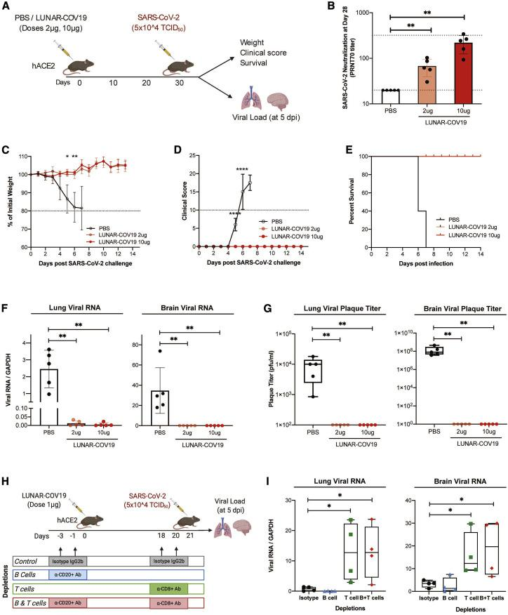 Single dose of LUNAR-COV19 protects hACE2 mice against a lethal challenge of SARS-CoV-2 virus (A) hACE2 transgenic mice were immunized with a single dose of either PBS or 2 μg or 10 μg of LUNAR-COV19 (n = 5 per group), then challenged with live SARS-CoV-2 at 30 days post-vaccination, and either assessed for survival (with daily weights and clinical scores) or sacrificed at day 5 post-challenge for measurement of lung and brain tissue viral loads. (B) Live SARS-CoV-2 neutralizing antibody titers (PRNT 70 ) measured at 28 days post-vaccination. (C–E) Weight (C), clinical score (D), and survival (E) were estimated after challenge with a lethal dose (5 × 10 5 TCID 50 ) of live SARS-CoV-2 virus. (F and G) Viral RNA (F) and infectious virus (G) in the lungs and brain of challenged mice were measured with qRT-PCR and plaque assay, respectively. (H) The role of B cell and T cell depletion in LUNAR-COV19-vaccinated mice was studied after challenge with SARS-CoV-2 virus. (I) At 5 dpi, viral RNA was assessed in both mouse lungs and brain. Study design schematic diagrams were created with BioRender.com . PRNT 70 and viral titers (RNA and plaque titers) were compared across groups with the non-parametric Mann-Whitney U test. Weights and clinical scores at different time points were compared between PBS and 10 μg LUNAR-COV19-immunized mice with multiple t tests. ∗0.05