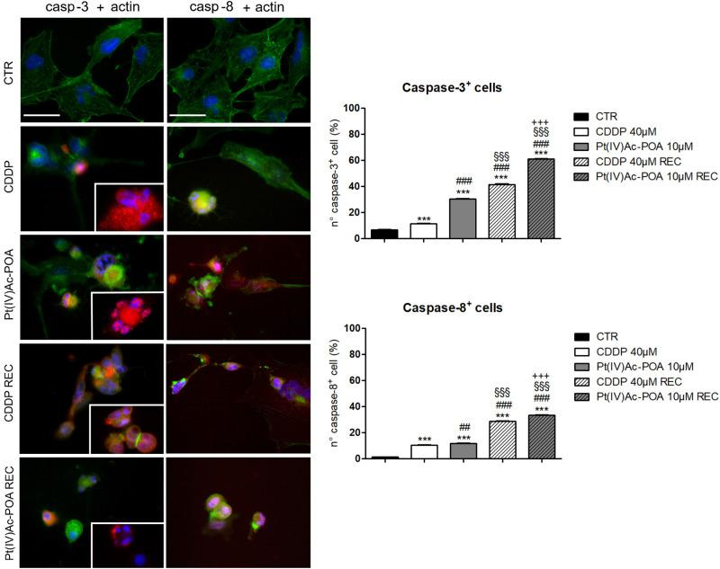 Left panel: Apoptotic pathway investigated by fluorescence microscopy in the controls, differently treated U251 cells, i.e., after 48-h continuous treatment (CT) with 40 μM cis -dichlorodiammineplatinum (CDDP) or 10 μM ( OC -6-44)-acetatodiamminedichlorido(2-(2-propynyl)octanoato)platinum(IV) [Pt(IV)Ac-POA], and in the recovered (REC) conditions. Double immunolabeling for active caspase-3 and caspase-8 ( red fluorescence ) and actin ( green fluorescence ). Nuclear counterstaining with Hoechst 33258 ( blue fluorescence ). Inserts : high-magnification micrographs showing caspase-immunopositive nuclei and collapsed cytoskeleton. Scale bar , 40 μm. Right panel: Histograms showing the percentage value of caspase-3- and caspase-8-immunopositive cells, respectively. Statistical significance calculated as follows: ∗ control vs . each experimental condition; # CDDP vs . other treatments; § Pt(IV)Ac-POA vs . REC conditions; + CDDP REC conditions vs . Pt(IV)AC-POA REC. ∗∗∗ p