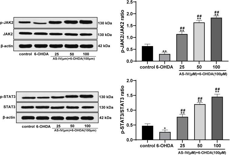 AS-IV activated the JAK2/STAT3 pathway in 6-OHDA-treated SH-SY5Y cells. Levels of JAK2, p-JAK2, STAT3, and p-STAT3 were detected using Western blot analysis. Each experiment was repeated for three times independently. Data are presented as mean ± standard deviation. One-way ANOVA was employed for the comparisons among multiple groups and Tukey's multiple comparison test was applied for the post hoc test, ∗ p