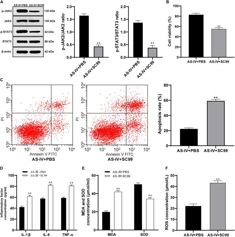 AS-IV (100 μM) protected 6-OHDA-treated SH-SY5Y cells via activating the JAK2/STAT3 pathway. The JAK2/STAT3 pathway inhibitor SC99 (15 mM) was added to the cells treated with AS-IV (100 μM), with PBS as the control. (A) Levels of p-JAK2/JAK2 and p-STAT3/STAT3 were detected using Western blot analysis. (B) Viability of 6-OHDA-treated SH-SY5Y cells was detected using MTT assay. (C) Apoptosis rate of 6-OHDA-treated SH-SY5Y cells was detected flow cytometry. (C) Levels of IL-1β, IL-6, and TNF-α in 6-OHDA-treated SH-SY5Y cells were detected using the ELISA kits. (D) Changes of MDA, ROS and SOD levels in 6-OHDA-treated SH-SY5Y cells were detected using corresponding kits. Each experiment was repeated for three times independently. Data are presented as mean ± standard deviation. Data in panels (A–F) were analyzed using t test, ** p