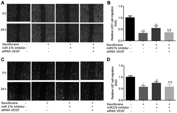 Sevoflurane-induced inhibition of glioma cell migration is mediated by the miR-27b/VEGF axis. The untreated control group acted as a negative control group for the experiments. (A) Images and (B) analysis of the inhibitory effects of sevoflurane on U251 cell migration were abolished by pre-treatment with miR-27b inhibitor, but were not affected by siRNA VEGF + miR-27b inhibitor. (C) Images and (D) analysis of the inhibitory effects of sevoflurane on U87 cell migration were abolished by pre-treatment with miR-27b inhibitor, but were not affected by siRNA VEGF + miR-27b inhibitor. Magnification, ×100. *P
