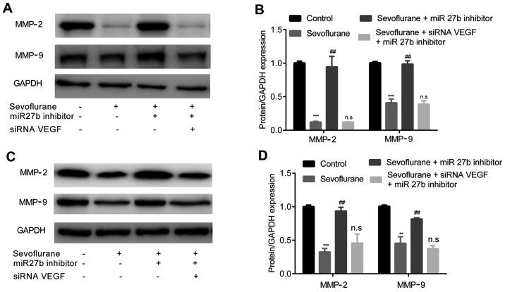 Sevoflurane inhibits the expression levels of MMP-2 and MMP-9. (A) Decreased in protein expression levels of MMP-2 and MMP-9 in U251 cells induced by sevoflurane were reversed by pre-treatment with miR-27b inhibitor. However, these were not affected by siRNA VEGF + miR-27b inhibitor. (B) Quantification of western blotting results. (C) Decreased in protein expression levels of MMP-2 and MMP-9 in U87 cells induced by sevoflurane were reversed by pre-treatment with miR-27b inhibitor. However, these were not affected by siRNA VEGF + miR-27b inhibitor. (D) Quantification of western blotting results. **P