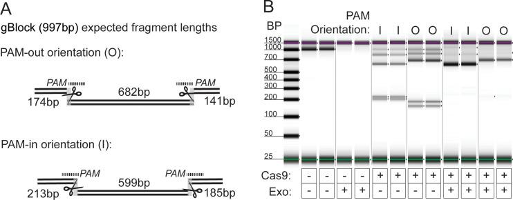 A. gBlock assay design for Cas9 challenge with exonuclease. gBlock contained two pairs of gRNA target sites, one with PAM-out orientation and one with PAM-in orientation. Upon Cas9 binding (depicted by scissors), each set of target sites generate 3 unique fragment lengths. The gRNAs are represented as dotted lines. B. Capillary electrophoresis results from exonuclease challenge experiment with Cas9. 15nM gBlock DNA was incubated with 40nM ribonucleoprotien complex, followed by digestion with a combination of exonucleases for 2 hours. When Cas9 is used without exonucleases, the gBlock is cut to produce expected fragment lengths. Upon challenge with exonuclease, only the fragments flanked on both sides by Cas9 remain in the sample. (l = in; O = out).