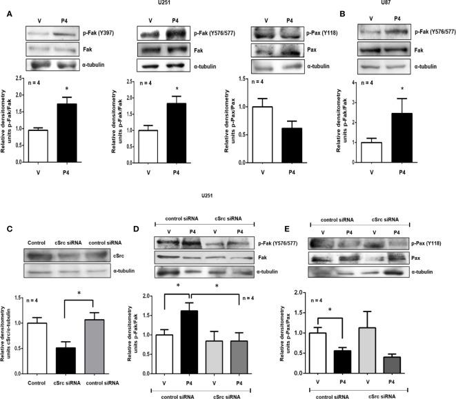 P4 induces the activation of Fak and Pax through cSrc in glioblastoma cells. (A, B) U251 and U87 cells were treated with P4 (50 nM) or vehicle (V, DMSO 0.01%) for 20 min. (C) U251 cells were transfected with cSrc siRNA and a control siRNA (an aleatory RNA sequence) (100 nM) or were only treated with lipofectamine (Control). (D, E) Transfected cells with cSrc siRNA or control siRNA were treated with P4 (50 nM) or vehicle (V, DMSO 0.01%) for 20 min. Upper panels show the representative western blots for, cSrc, p-Fak, Fak, p-Pax, Pax, and α-tubulin. Lower panels show the densitometric analysis. Data were normalized respect to the vehicle or control. Results are expressed as the mean ± S.E.M. n = 4; *p