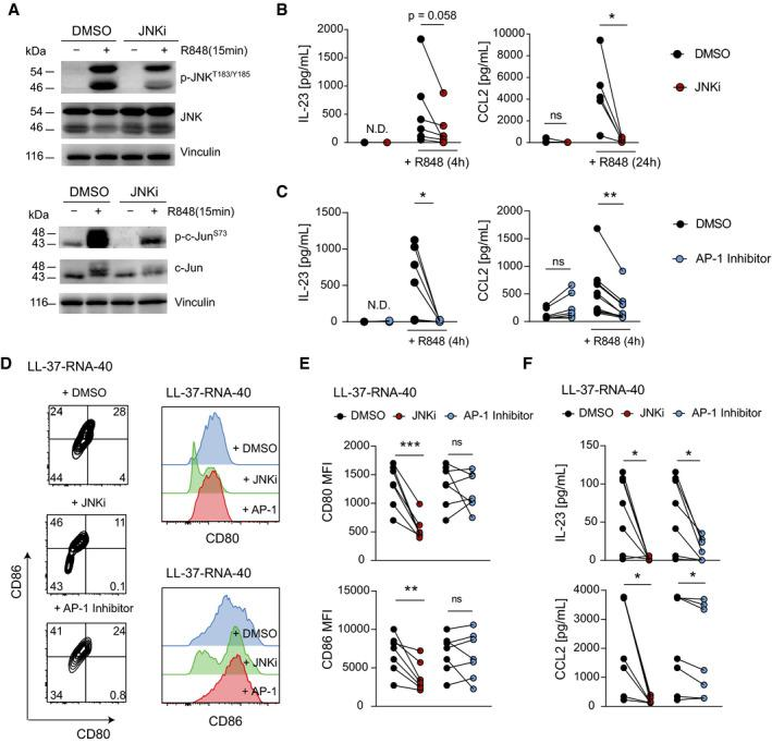 JNK/AP‐1 Inhibitors repress CCL2 and IL‐23 expression in human mo‐DCs Western blot analyses of Phospho‐ or total JNK and c‐Jun in human mo‐DCs pretreated with DMSO (1: 1,000) or SP600125 (JNKi, 25 µM) for 1 h and stimulated with R848 (10 µg/mL) for 15 min. Human mo‐DCs pretreated with JNKi (SP600125, 25 µM) (B) or AP‐1 Inhibitor (T‐5224, 20 µM) (C) for 1 h were stimulated with R848 (10 µg/ml). CCL2 and IL‐23 were analyzed by ELISA ( n = 5–11; 2–3 independent experiments). Representative flow cytometry plots (left) and histograms (right) of human mo‐DCs stimulated with LL‐37‐RNA‐40 for 24 h are shown. Inhibitors (JNKi; 25 µM or AP‐1 Inhibitor; 20 µM) were given 1 h before stimulation. Plots shown are pregated on live, single, CD1a + cells. Human mo‐DCs described in (D) were analyzed for mean fluorescence intensity of CD80 or CD86 by flow cytometry (E) and CCL2 or IL‐23 protein by ELISA (F) ( n = 7; 2 independent experiments). Data information: Data are shown as mean ± SEM. P ‐values were calculated by paired, two‐tailed t ‐test (B, C, E and F). Statistical significance: ns > 0.05, * P
