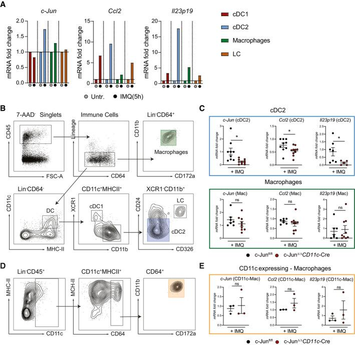 c‐Jun is essential in conventional type‐2 DCs to control CCL2 and IL‐23 expression DC subsets (cDC1, cDC2), macrophages (MP), and Langerhans cells (LC) were sorted from IMQ‐treated back skin (5 h). c‐Jun , Ccl2, and Il23p19 mRNA was analyzed by qRT–PCR. Sort strategy is shown in (B) (10 mice were pooled per condition, 1 experiment). Sort strategy for the separation of MPs (CD45 + Lin − CD64 + CD172a + CD11b + ), and the DC (CD45 + Lin − CD64 − CD11c + MHCII + ) subsets cDC1 (XCR1 + CD11b − DC), cDC2 (XCR1 − CD11b + CD24 −/int CD326 − ) and LC (XCR1 − CD11b + CD24 + CD326 + ) in IMQ‐treated (5 h) murine back skin. qRT–PCR detection of c‐Jun , Ccl2, and Il23p19 in MPs and cDC2 sorted as described in (B) from indicated mice (MPs: n = 7–9; 3 independent experiments, cDC2: n = 5–10; 2–3 independent experiments and back skin from 2 mice was pooled). Sort strategy for CD11c expressing MPs (CD45 + Lin − CD11c int/low MHCII + CD64 + CD11b + CD172a + ) is shown. Murine skin was treated for 5 h with IMQ. Expression of indicated targets was analyzed by qRT–PCR in cells sorted as described in (D) ( n = 3; Back skin from 2 mice was pooled). Data information: Data are shown as mean ± SEM. P ‐values were calculated by unpaired, two‐tailed t ‐test (C, E). Statistical significance: ns > 0.05, * P