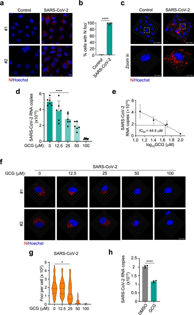 GCG suppresses <t>SARS-CoV-2</t> replication. a , b Immunofluorescence analysis of N protein in A549-hACE2-Flag cells infected with SARS-CoV-2 for 24 h ( a ). The percentage of cells with N protein foci was quantified, n = 8 biologically independent samples, 20 randomly selected views were analyzed in each sample ( b ). Scale bar, 10 μm. c 3D images were obtained by Zeiss LSM 880 confocal microscope and reconstituted by Volocity 6.1.1 . d , e The inhibitory effect of GCG on the replication of SARS-CoV-2, n = 6 biologically independent samples ( d ). IC 50 was calculated, n = 5 biologically independent samples ( e ). The infection was performed after 1-h pretreatment of GCG. f , g Representative immunofluorescent images showed the inhibitory effect of GCG on SARS-CoV-2 N protein. 3D images were obtained by Zeiss LSM 880 confocal microscope and reconstituted by Volocity 6.1.1 ( f ). Violin plots showing foci of cells ( n = 50 biologically independent cells) from each group, lines within the plots, with 25th, 50th, and 75th percentiles marked ( g ). h Cells were infected with SARS-CoV-2 for 1 h followed by 24-h GCG treatment, n = 3 biologically independent samples. Representative images were shown. SARS-CoV-2 was used at an MOI of 1. Hoechst (blue), nuclear staining ( a , c , f ). Error bars, mean with s.d. ( b , d , e , g , h ). Two-tailed unpaired Student's t -test, * P