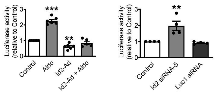 Id2 regulates the activity of CaV3.1 promoter. The luciferase reporter gene was placed under the control of 0.8kb of the CaV3.1 promoter. The reporter gene was transected into neonatal rat cardiomyocytes to measure the luciferase activity upon Id2 overexpression (left) or Id2 siRNA knockdown (right). Bar graphs represent the mean of the relative activity of luciferase from the CaV3.1 luciferase reporter plasmid construct. The data were evaluated by one-way analysis of variance (ANOVA) followed by Tukey–Kramer's post hoc test. Values are mean + s.e.m., *** p