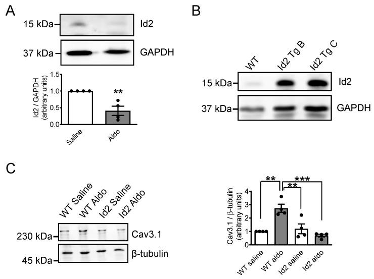 Id2 expressing transgenic mice prevents the aldosterone-stimulated expression of CaV3.1 voltage-gated calcium channels in vivo. WT or cardiomyocyte-specific Id2 expressing transgenic B6D2F1/Slc mice were stimulated with Aldosterone (60 mg/Kg/day) or Saline solution for 1 week by implanting subcutaneously osmotic pumps. ( A ) Representative pictures of western blot experiments showing the Id2 protein (upper) and GAPDH protein (lower) expression levels from the heart of WT mice treated with saline solution or aldosterone. The bar graph is the mean of Id2 expression ( n = 4). ( B ) Pictures of western blotting experiments showing the Id2 protein (upper) and GAPDH protein (lower) expression levels in the heart of B6D2F1/Slc WT and two cardiomyocyte-specific Id2 expressing transgenic (Tg) mice. ( C ) Pictures of western blotting experiments showing CaV3.1 (upper) and tubulin (lower) proteins expression levels in WT or Id2 transgenic mice treated with saline solution or aldosterone. Graph is are the mean expression of CaV3.1 and tubulin expression ( n = 4). The data were evaluated by one-way analysis of variance (ANOVA) followed by Tukey–Kramer's post hoc test or by unpaired two-tailed Student's t -test. Bars and error bars indicate the mean ± s.e.m., ** p