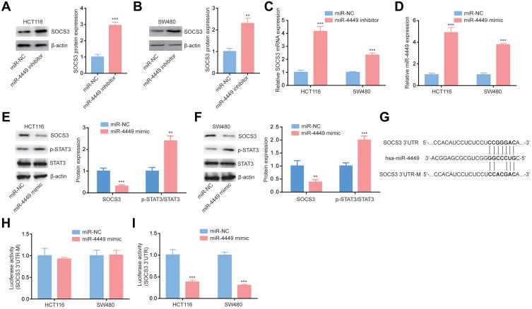 miR-4449 regulated SOCS3 expression in colorectal cancer cells. ( A, B ). The SOCS3 protein expression was detected in HCT116 ( A ) and SW480 ( B ) cells with transfection of miR-NC or miR-4449 inhibitor. ( C ). The SOCS3 mRNA levels were detected in HCT116 and SW480 cells with transfection of miR-NC or miR-4449 inhibitor. ( D ). The miR-4449 levels were detected in HCT116 and SW480 cells with transfection of miR-NC or miR-4449 mimic. ( E, F ). SOCS3, p-STAT3 and STAT3 protein expression were detected in HCT116 ( E ) and SW480 ( F ) cells with transfection of miR-NC or miR-4449 mimic. ( G ). The sequence alignment among miR-4449, SOCS3 3ʹUTR wild type and SOCS3 3ʹUTR mutant (3ʹUTR-M) was presented. ( H ). The luciferase activity was detected in HCT116 and SW480 cells with transfection of miR-NC or miR-4449 mimic in combination with SOCS3 3ʹUTR. ( I ). The luciferase activity was detected in HCT116 and SW480 cells with transfection of miR-NC or miR-4449 mimic in combination with SOCS3 3ʹUTR-M. **p