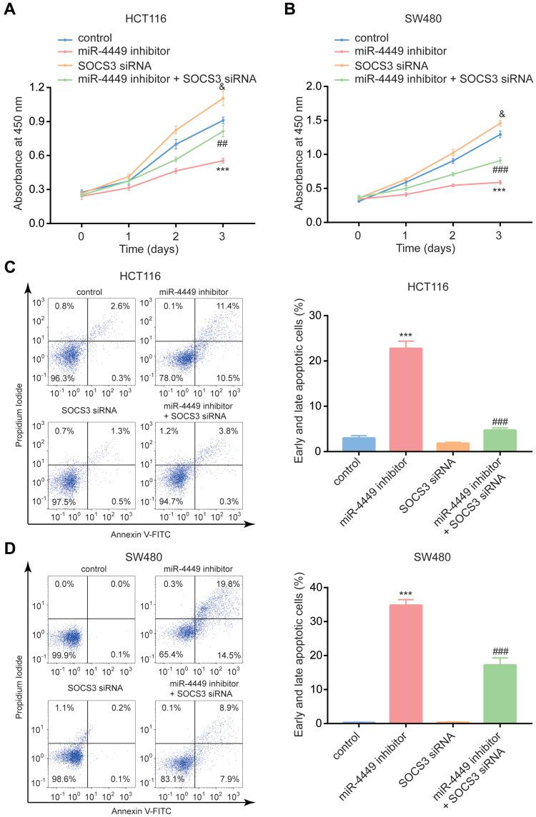The miR-4449/SOCS3 axis regulated colorectal cancer cell proliferation and apoptosis. ( A, B ) The CCK-8 assay was used to detect cell proliferation of HCT116 ( A ) and SW480 ( B ) cells with transfection of miR-NC or miR-4449 inhibitor in combination with control siRNA or SOCS3 siRNA. C-D. The flow cytometry was used to detect cell apoptosis of HCT116 ( C ) and SW480 ( D ) cells with transfection of miR-NC or miR-4449 inhibitor in combination with control siRNA or SOCS3 siRNA. *** vs control p
