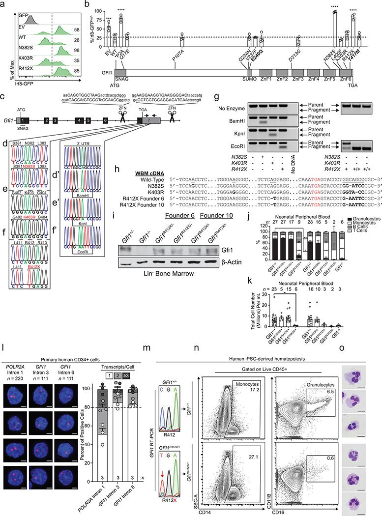 Functional assessment of SCN patient-derived GFI1 variants and generation of Gfi1 ZnF-mutant mice. a, Representative FACS plots of lentiviral transduced LSK cells isolated from adult Irf8-eGFP transgenic mice with the %Irf8-eGFP high indicated. b, Graphical summary of FACS analysis of lentiviral transduced LSK cells isolated from adult Irf8-eGFP transgenic mice (top) with locations of the variants mapped to the GFI1 protein (bottom). EV; empty vector, *P2A; mutation not found in patients, italics; other variants detected in the same patient, bold; also found in patients diagnosed with a malignancy, ATG; start codon, TGA; stop codon, gray blocks; characterized protein domains, SNAG; Snail/Gfi1 family domain, SUMO; sumoylation domain, ZnF; zinc-finger. c, Schematic of the Gfi1 locus annotated with relevant features. Line with small arrows; intronic regions, numbered blocks; exons, black blocks; coding regions, gray blocks; noncoding regions, ATG; start codon, TGA; stop codon, SNAG; Snail/Gfi1 family domain-encoding region, ZFN; zinc-finger nucleases, large arrows; noncoding region used for genotyping. d-f, Schematic of the nucleotide changes made to the coding region and 3' UTR to introduce the d, d' N382S, e, e' K403R, and f, f' R412X mutations. g, Representative genotyping of the ZnF-mutant mice with or without restriction enzyme digestion. h, Representation of Sanger sequencing analysis of cDNA from adult whole bone marrow. Targeted wild-type nucleotides are underlined, mutated nucleotides are in bold, and red nucleotides indicate the location of the stop codon. i, Immunoblot analysis of two R412X founder lines using adult murine Lineage Neg bone marrow lysates. j, Graphical summary of FACS analysis of neonatal murine peripheral blood. k, Total cell counts per mL of neonatal peripheral blood as determined by FACS. l, Representative RNAscope images (left) and transcript quantitation (right) of the indicated transcripts in primary human CD34+ cells. The number of cel