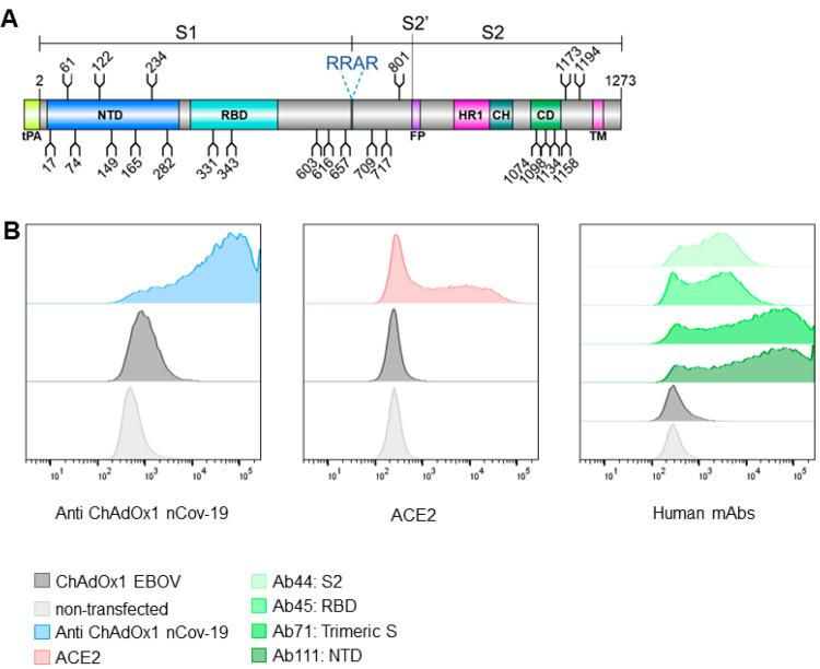 ChAdOx1 nCoV-19 produces membrane associated SARS-CoV-2 S glycoprotein in native conformations able to bind its host receptor, ACE2. (A) Schematic representation of the vaccine encoded SARS-CoV-2 S protein, showing the position of N-linked glycosylation amino acid sequons (NXS/T, where X ≠ P) as branches. Protein domains are illustrated: N-terminal domain (NTD), receptor-binding domain (RBD), fusion peptide (FP), heptad repeat 1 (HR1), central helix (CH), connector domain (CD), and transmembrane domain (TM), with the additional tPA secretion signal at the N-terminus. (B) HeLa S3 cells were infected with ChAdOx1 nCoV-19 and incubated with recombinant ACE2, anti-ChAdOx1 nCoV-19 (derived from vaccinated mice), or a panel of human mAbs (Ab44, Ab45, Ab71, and Ab111, which recognize S2, RBD, trimeric S, and NTD, respectively) and compared to noninfected controls, analyzed by flow cytometry. (Left). Relative frequency of cells and AlexaFluor 488 fluorescence associated with antispike detection is plotted. Left, (blue) anti-ChAdOx1 nCoV-19; middle (red), ACE2; and right (shades of green) human mAbs. In dark gray cells infected with an irrelevant ChAdOx1 vaccine and in light gray noninfected cells are shown as a control. Experimental replicates were performed two times, and representative data are shown.