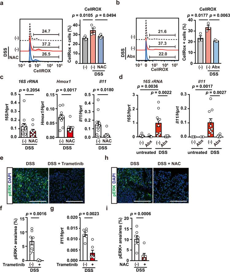 The MEK/ERK Pathway is involved in Il11 upregulation in DSS-induced colitis. a , b Wild-type mice were treated with DSS, without or with NAC ( a ) or Abx ( b ). Colon cells were prepared and stained with CellRox-green, and ROS accumulation was analyzed by flow cytometry. Left panels show representative histograms of ROS levels in colon cells. Right panels show percentages of CellRox-green + cells from an individual mouse. Results are mean ± SEM. n = 4 (untreated or NAC-treated) or 3 (untreated or Abx-treated) mice. c Wild-type mice were treated as in a . Colonic expression of 16S rRNA, Hmox1 , and Il11 mRNA was determined using qPCR. Results are mean ± SEM. n = 11 (untreated) or 9 (NAC-treated) mice; pooled data from three independent experiments. d Abx blocks Il11 mRNA upregulation in the colon in DSS-treated mice. Wild-type mice were untreated or treated with DSS in the absence or presence of Abx. On day 5 after DSS treatment, qPCR was performed to determine the expression of bacterial 16S rRNA and Il11 mRNA in the colon. Results are mean ± SEM. n = 8 (untreated), 3 (Abx-treated), 10 (DSS-treated), or 8 (DSS + Abx-treated) mice; pooled data from three independent experiments. e – g Trametinib inhibits ERK phosphorylation and Il11 mRNA expression in the colon in DSS-treated mice. Wild-type mice were treated with DSS in the absence or presence of trametinib injection (at –6 and –30 h), and then colon sections were prepared and stained with anti-pERK antibody ( e ). Scale bars, 100 μm. pERK + and DAPI + areas were calculated, and the ratios of pERK + /DAPI + areas (%) were plotted ( f ). Results are mean ± SEM. n = 7 (untreated) or 5 (Trametinib-treated) mice; pooled data from two independent experiments. Il11 mRNA expression was determined using qPCR ( g ). Results are mean ± SEM. n = 6 (untreated) or 7 (Trametinib-treated) mice; Pooled data from two independent experiments. h , i NAC inhibits ERK phosphorylation in the colon in DSS-treated mice. Wild-type mice were