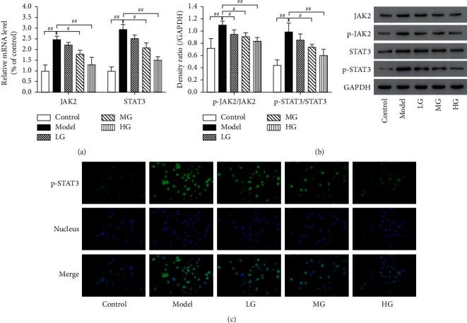 DCQD suppressed JAK2/STAT3 signaling pathway in a concentration-dependent manner. (a) Real-time PCR was performed to detect the mRNA expression of JAK2 and STAT3. (b) Western blot was performed to detect the protein level of JAK2, p-JAK2, STAT3, and p-STAT3. (c) Immunofluorescence staining (400×) was performed to detect the location of p-STAT3 in cells. GAPDH was as the loading control for band density normalization. Data are presented as the means ± SD, n = 3.Immunofluorescence micrographs from one representative experiment out of three independent experiments are shown. All bar graphics: # P