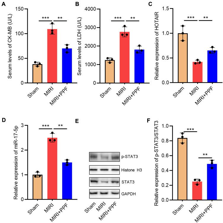 The effect of PPF treatment on rats with MIRI and its effect on HOTAIR and miR-17-5p expression. ( A ) CK-MB in the serum of the rats in each group was detected with ELISA (N=3). ( B ) LDH in the serum of the rats in each group was detected with ELISA (N=3). ( C ) qRT-PCR was used to detect the expression level of HOTAIR in the heart tissue of the rats (N=3). ( D ) MiR-17-5p expression in heart tissue of the rats was detected by qRT-PCR. ( E and F ) Western blot was used to detect by the expression of p-STAT3 and STAT3 in heart tissue of the rats. ** P