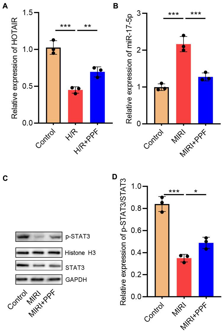 The effects of PPF on HOTAIR, miR-17-5p, and STAT3 expressions in H9c2 cells. ( A and B ) The expression levels of HOTAIR and miR-17-5p in H9c2 cells were detected by qRT-PCR (N=3). ( C and D ) Western blot was used to detect the expressions of STAT3 and p-STAT3 in H9c2 cells (N=3). * P