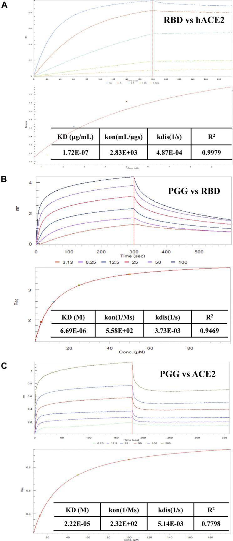 Effect of PGG on the interaction of Spike-RBD peptide and hACE2 receptor. (A) BLI was used to monitor the binding association of SARS-CoV-2 RBD and hACE2. (B) The binding kinetics and steady-state analysis of the interaction between immobilized RBD and PGG at indicated concentrations. (C) The binding kinetics and steady-state analysis of the interaction between immobilized ACE2 and PGG at indicated concentrations. Representative results were shown from 3 independent experiments.