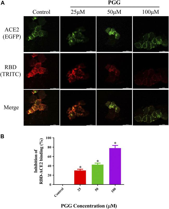 PGG suppresses the binding of Spike-RBD on ACE2 receptor in HEK293 cells. (A) HEK293 cells were transiently transfected with hACE2-EGFP (green). After 24 h, the cells were incubated with supernatant containing mFc-tagged SARS-CoV-2-RBD with or without PGG (25–100 μM) for 40 min. The cells were subsequently fixed and detected with mouse IgG Fc TRITC antibody (red). All images were captured by confocal microscopy using a Leica SP8 (×40 oil immersion objective lens). (B) Images of Spike-RBD-ACE2 binding intensity were quantified by ImageJ. Data were expressed as mean ± S.D., n = 3; * p